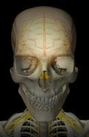 brain and cervical nerves