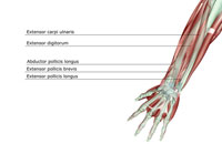 musculoskeleton of forearm