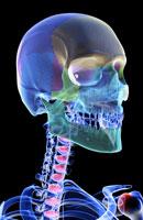bones of head, neck and face 11037003117| 写真素材・ストックフォト・画像・イラスト素材|アマナイメージズ