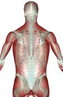 musculoskeleton of upper body 11037003120| 写真素材・ストックフォト・画像・イラスト素材|アマナイメージズ