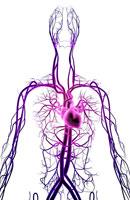 blood vessels of upper body 11037003242| 写真素材・ストックフォト・画像・イラスト素材|アマナイメージズ