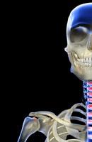 bones of face, neck and shoulder 11037003313| 写真素材・ストックフォト・画像・イラスト素材|アマナイメージズ
