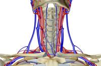 blood supply of neck 11037003551| 写真素材・ストックフォト・画像・イラスト素材|アマナイメージズ