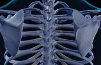 bones of shoulder