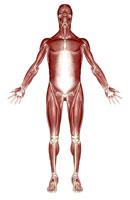muscular system 11037004071| 写真素材・ストックフォト・画像・イラスト素材|アマナイメージズ