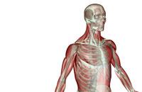 musculoskeleton of upper body 11037004331| 写真素材・ストックフォト・画像・イラスト素材|アマナイメージズ