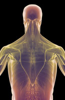 muscles of upper body