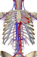 blood supply of trunk 11037004642| 写真素材・ストックフォト・画像・イラスト素材|アマナイメージズ