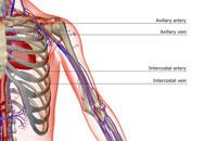 blood supply of shoulder and upper arm 11037004670| 写真素材・ストックフォト・画像・イラスト素材|アマナイメージズ