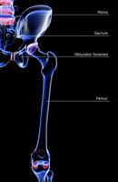 bones of hip and lower limb 11037004820| 写真素材・ストックフォト・画像・イラスト素材|アマナイメージズ