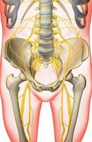 nerves of pelvis