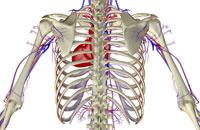 blood supply of upper body 11037005339| 写真素材・ストックフォト・画像・イラスト素材|アマナイメージズ