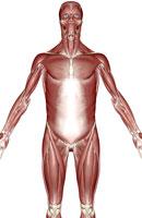 muscles of upper body 11037005464| 写真素材・ストックフォト・画像・イラスト素材|アマナイメージズ