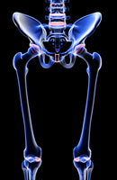 bones of lower limb 11037005624| 写真素材・ストックフォト・画像・イラスト素材|アマナイメージズ