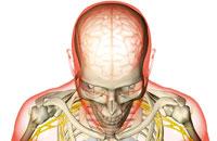 brain and brachial plexus