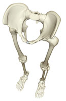 bones of lower body