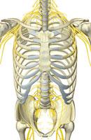 nerves of trunk