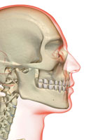 bones of head and face