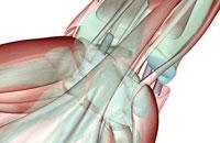 musculoskeleton of wrist