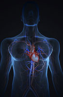 blood vessels of upper body 11037006080| 写真素材・ストックフォト・画像・イラスト素材|アマナイメージズ