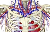 blood supply of upper body 11037006417| 写真素材・ストックフォト・画像・イラスト素材|アマナイメージズ
