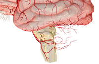 cerebellar arteries