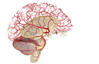 arteries of brain