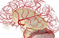 arteries of brain