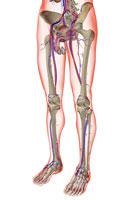 blood supply of male reproductive organs 11037006892| 写真素材・ストックフォト・画像・イラスト素材|アマナイメージズ