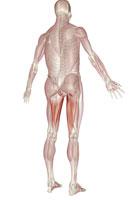 Muscles of upper leg