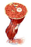 Transverse section of leg