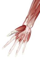 Muscles of hand 11037006936| 写真素材・ストックフォト・画像・イラスト素材|アマナイメージズ