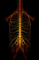 Nerve supply of trunk