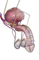 male reproductive organs 11037007825| 写真素材・ストックフォト・画像・イラスト素材|アマナイメージズ