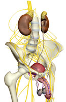 Nerve supply of urinary system