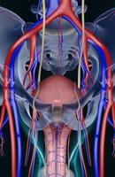 blood supply of male reproductive organs 11037008179| 写真素材・ストックフォト・画像・イラスト素材|アマナイメージズ