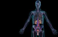 urinary system 11037008300| 写真素材・ストックフォト・画像・イラスト素材|アマナイメージズ