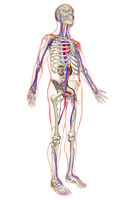 urinary and vascular system