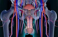 blood supply of male reproductive organs 11037008397| 写真素材・ストックフォト・画像・イラスト素材|アマナイメージズ