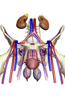 urinary system 11037008419| 写真素材・ストックフォト・画像・イラスト素材|アマナイメージズ