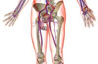 blood supply of male reproductive organs 11037008832| 写真素材・ストックフォト・画像・イラスト素材|アマナイメージズ
