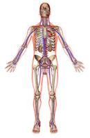 urinary and vascular system 11037008835| 写真素材・ストックフォト・画像・イラスト素材|アマナイメージズ