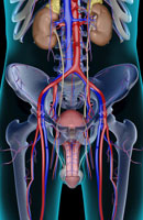 urinary system 11037008877| 写真素材・ストックフォト・画像・イラスト素材|アマナイメージズ