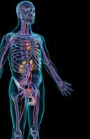 urinary system 11037009033| 写真素材・ストックフォト・画像・イラスト素材|アマナイメージズ