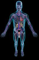 urinary and vascular system 11037009054| 写真素材・ストックフォト・画像・イラスト素材|アマナイメージズ
