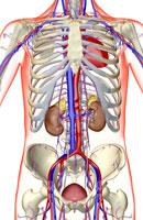 urinary system 11037009221| 写真素材・ストックフォト・画像・イラスト素材|アマナイメージズ