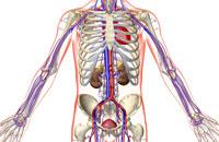 urinary system 11037009318| 写真素材・ストックフォト・画像・イラスト素材|アマナイメージズ