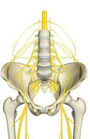 Nerve supply of pelvis