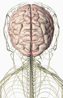 brain and nerves of head and neck