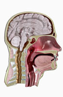Sectional anatomy of head and neck